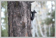 Kaibab Squirrels were everywhere - White Tail with Long pointy Ears.JPG